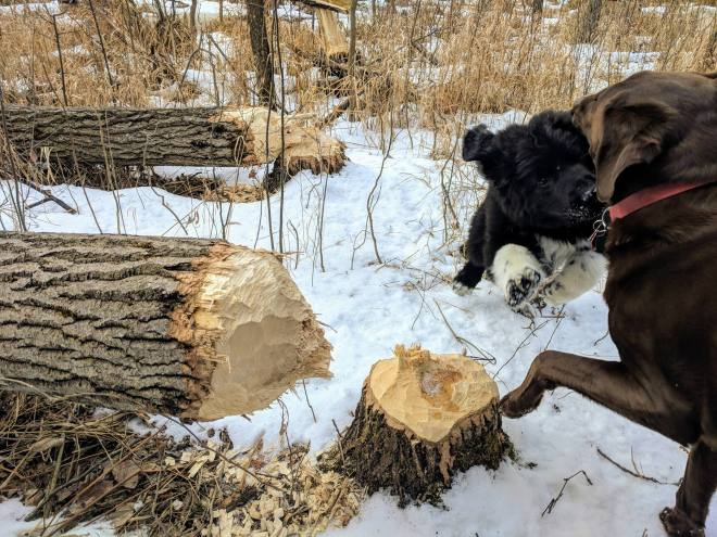 beaver pups